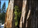 xs_2002 tree bark detail w moos lake tahoe california usa_1 (256)__.jpg